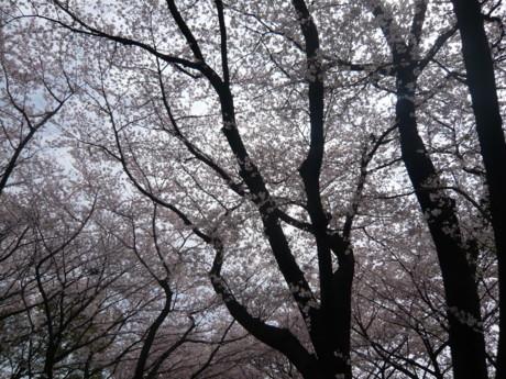 お花見11-1.JPG